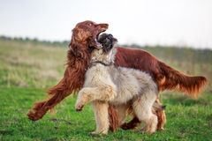 Irish setter and briard Stock Photography