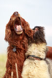Irish setter and briard. Red irish setter and briard Royalty Free Stock Photo