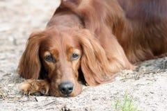 Irish setter dog. Portrait of cute Irish red Setter dog lying on ground Stock Images