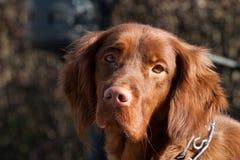 Irish setter dog. A portrait of a Irish setter dog stock photos