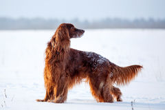 Irish setter dog. Red irish setter dog in snow field Stock Photo