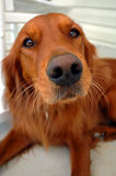 Irish setter dog. The face of an Irish setter Dog Stock Image