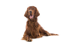 Irish setter dog. Close up of Irish red setter dog lying on ground, isolated on white background Royalty Free Stock Photo