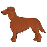 Irish Setter Dog Stock Image