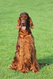 Irish setter dog portrait. In garden Royalty Free Stock Image