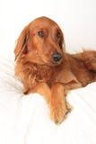 Irish Setter dog Stock Photography