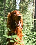 Irish setter dog walking in the forest, a dog in the sunlight royalty free stock photo