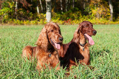 Irish setter dogs Royalty Free Stock Photos