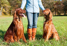 Irish Setter dogs Royalty Free Stock Photography
