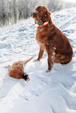 Irish setter fetching the prey during hunt royalty free stock photo