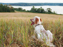 Irish setter on field Royalty Free Stock Photos