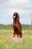 Irish setter in flowers. Irish red setter dog stay at rock in field with yellow flowers Royalty Free Stock Photos