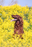 Irish setter in flowers. Irish red setter dog sit in field with yellow flowers Stock Image