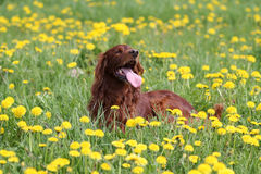 Irish setter in flowers. Irish red setter dog lying in field with yellow flowers Stock Photo