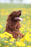 Irish setter in flowers. Irish red setter dog in field with yellow flowers Stock Photos
