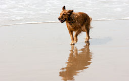 Irish Setter Golden Retriever Dog Running Ocean Surf Sandy Beach Stock Image