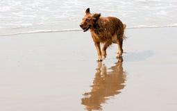 Irish Setter Golden Retriever Dog Running Ocean Surf Sandy Beach Stock Image
