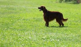 Irish Setter  on grass Royalty Free Stock Photography