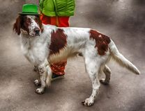 Irish Setter in a Green Hat stock images