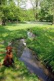 Irish setter in the green park near a spring Stock Photos
