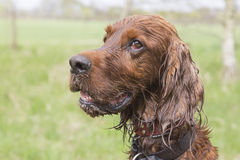 Irish setter head Royalty Free Stock Photos