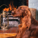Irish setter headshot Royalty Free Stock Photo