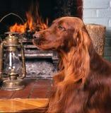 Irish setter headshot. Irish setter resting in front of a fire place Royalty Free Stock Photo