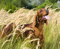 Irish Setter in high grass. Royalty Free Stock Photo