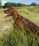 Irish Setter in high grass. Stock Images