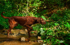 Irish setter hunting. Young irish setter crossing a small creek in search of pray. Picture taken during training Stock Images