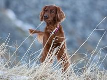 Irish Setter. Standing on the meadow in a winter day stock image