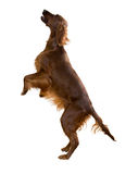 Irish Setter Royalty Free Stock Image