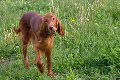 Irish setter looks at you Stock Image