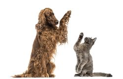 Irish setter and Maine Coon kitten high-fiving royalty free stock image
