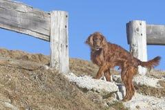 Irish setter in mountains Stock Image