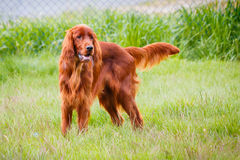 Irish Setter Royalty Free Stock Images