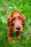 Irish setter. Obedient puppy of irish setter with innocent look stock images