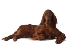 Irish Setter over white Royalty Free Stock Image