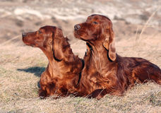 Irish Setter pair Stock Photos