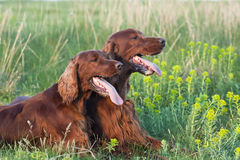 Irish Setter pair Royalty Free Stock Image