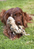 Irish Setter playing Royalty Free Stock Image