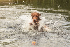 Free Irish Setter Plays With Ball Royalty Free Stock Photography - 39033337