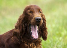Irish Setter portrait Stock Photography