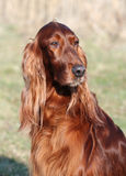 Irish Setter portrait Royalty Free Stock Photography