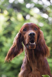 Irish Setter portrait Royalty Free Stock Photos