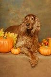 Irish Setter and Pumpkins Royalty Free Stock Photos