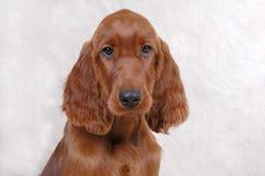 Irish Setter Puppy. Studio portrait of irish setter puppy Royalty Free Stock Image