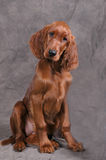 Irish Setter Puppy. Studio portrait of irish setter puppy Stock Photos
