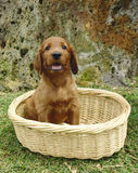 Irish setter puppy in a basket. Two months old pure breed red irish setter puppy sitting in a basket stock images