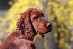 Irish Setter puppy Stock Photography